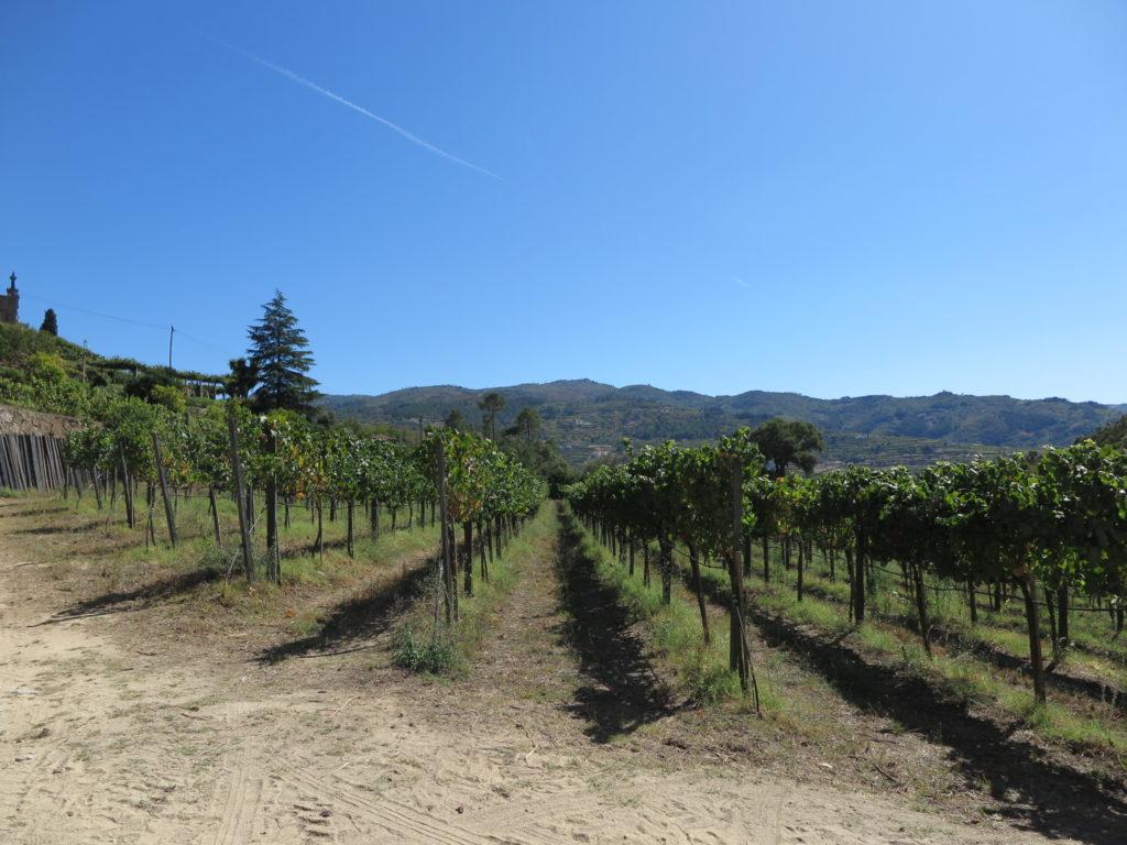 Quinta de Covela: plantação de vinha